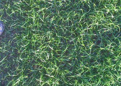 Approximately 90–100% grass strike: stabilised.